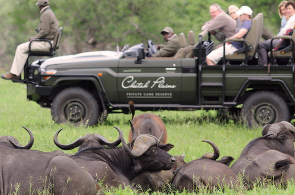 Buffalo sighting during a morning game drive in Sabi Sand Game Reserve.