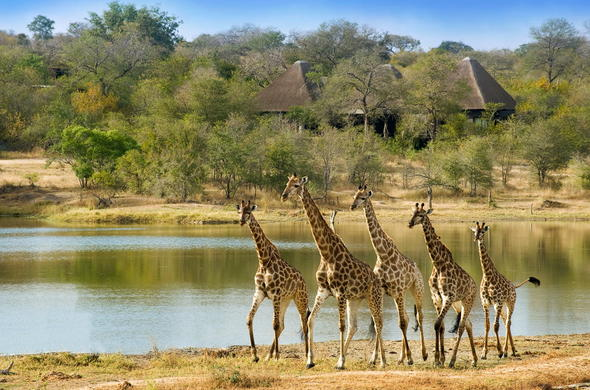Giraffes come to drink water at the nearby Chitwa Chitwa waterhole.