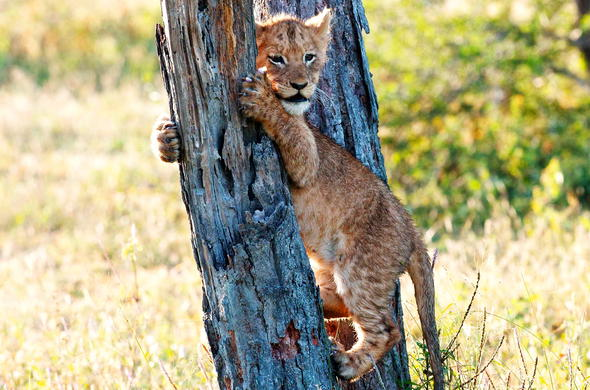 See lion cubs on a family safari in Sabi Sand Game Reserve.