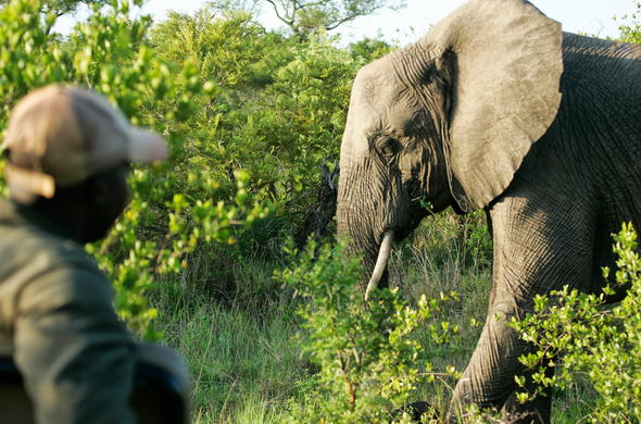 Close encounter with and elephant during a game drive.