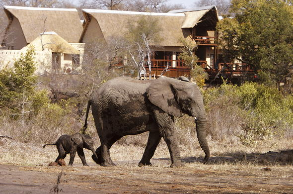 Elephant and calf walking through Elephant Plains Game Lodge.
