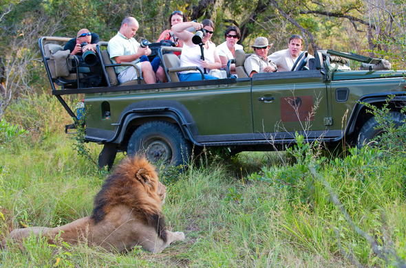 Lion spotted on a game drives through Sabi Sands Game Reserve.