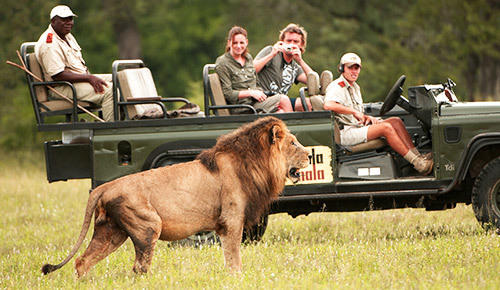 See lion on a game drive in Sabi Sand.
