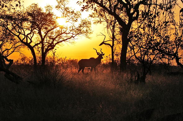 Kudu are among the many antelope to be seen.