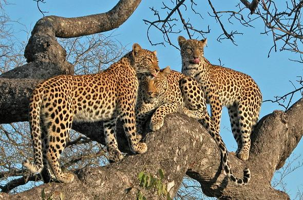 Leopards lounging in a tree in the vast Sabi Sands Game Reserve.