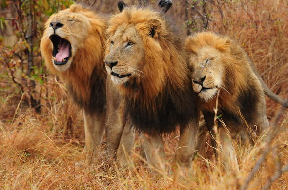 Lions in Sabi Sand Game Reserve.