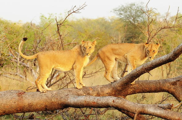 Lions in a tree in Sabi Sands Game Reserve.