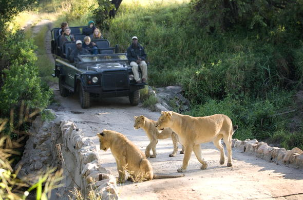 Pride of lions during an afternoon game drive at Lion Sands River Lodge.