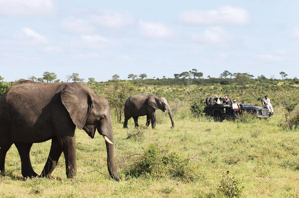 Elephant herd spotted on a game drive in Sabi Sands Game Reserve.