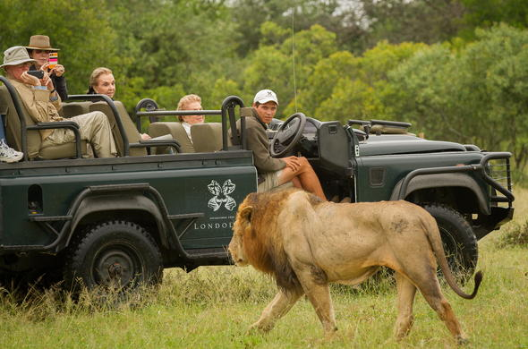 Male lion encounter on a Londolozi Founders Camp game drive.