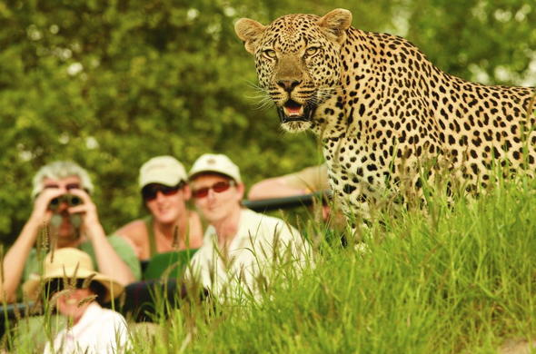 Londolozi Varty Camp offers guests a chance to see leopard in Sabi Sands.
