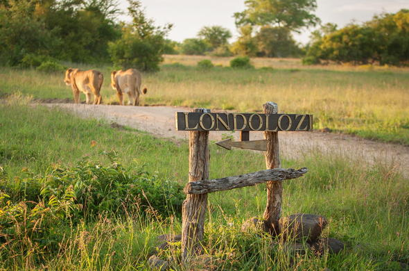 Lion couple spotted at Londolozi Varty Camp.