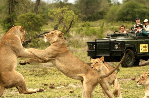 Watch action-packed sightings of lion while on a Sabi Sands game drive.
