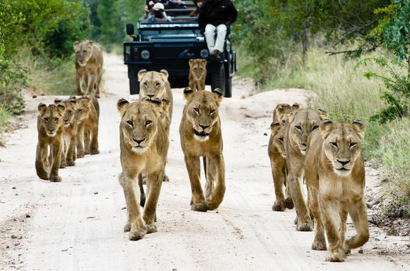 Spotting a pride of lions during a Sabi Sand game drive.