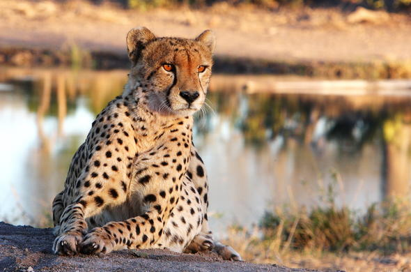 See Cheetah on an eco friendly safari.