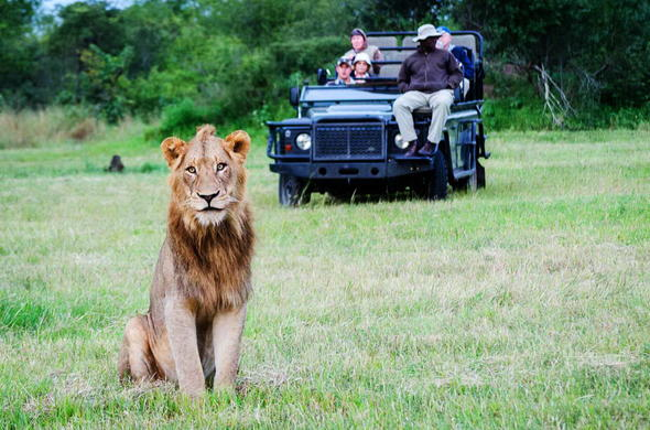 Thrilling lion encounter during an afternoon game drive.