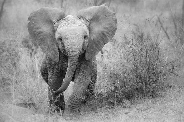 Baby elephant in Sabi Sabi Game Reserve.