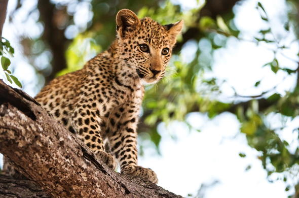 Leopard cub in a tree in Sabi Sand Game Reserve.