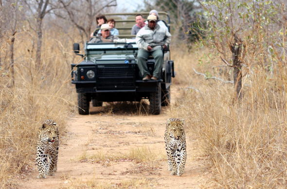 Spotting a leopard during a game drive in Sabi Sand Game Reserve.