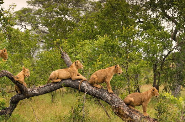 Lions in a tree in Sabi Sand Game Reserve, South Africa.