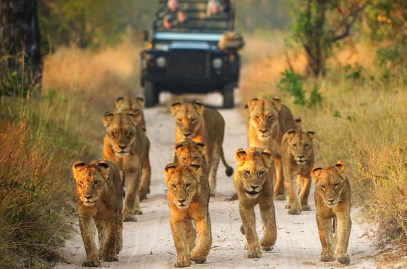 Singita Boulders Lodge lions as seen on a guided safari.
