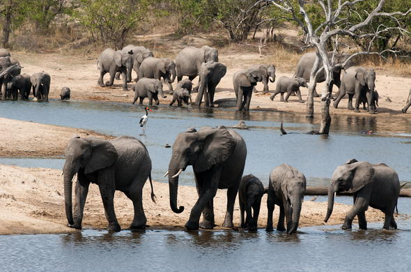 An elephant herd at the Sabie River.
